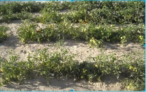 ポーラスαを使用したトマト栽培圃場