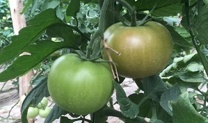 WP_t_tomato