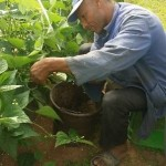 Harvest of green bean in our project in Morocco