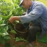 試験栽培でのインゲン収獲の模様