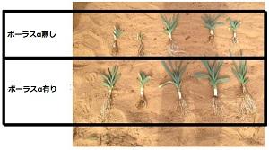 新鮮重比較で47%の収穫量増加を実現