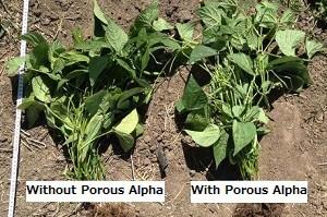 Increased fresh crop weight %